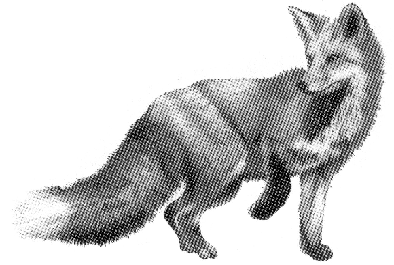 Line Drawing Fox : Index of jefferson school tracking mammal signs